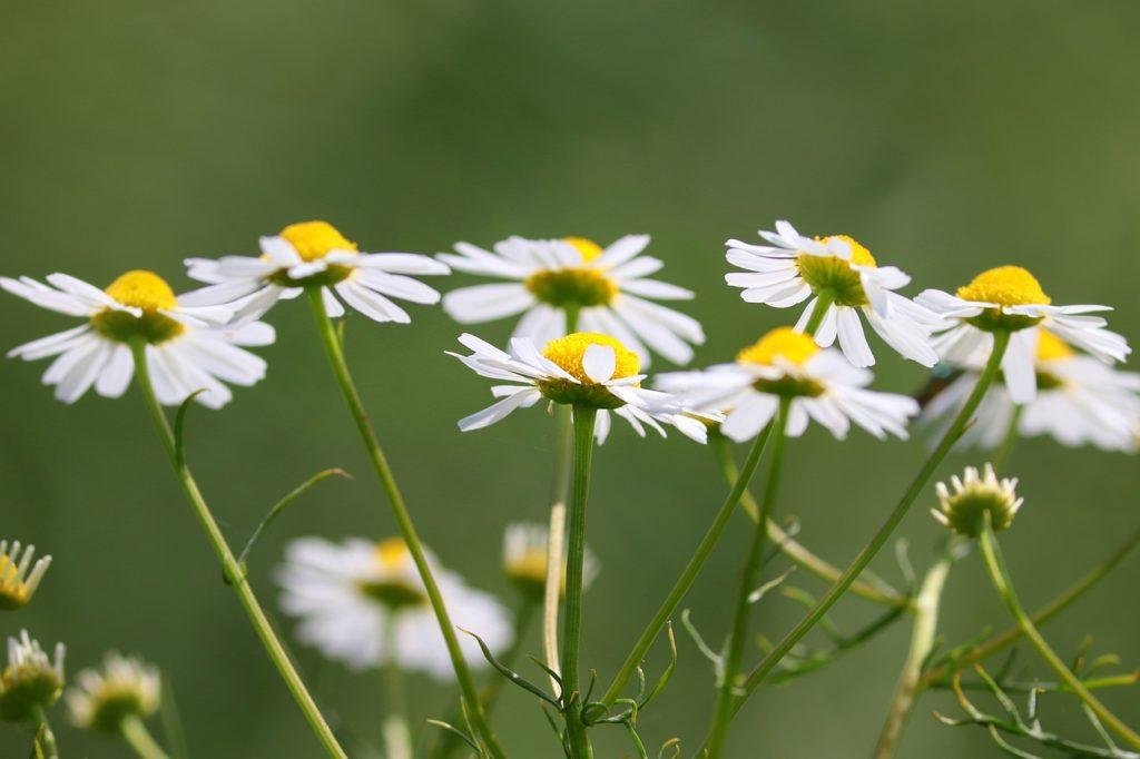 Fleur de camomille romaine