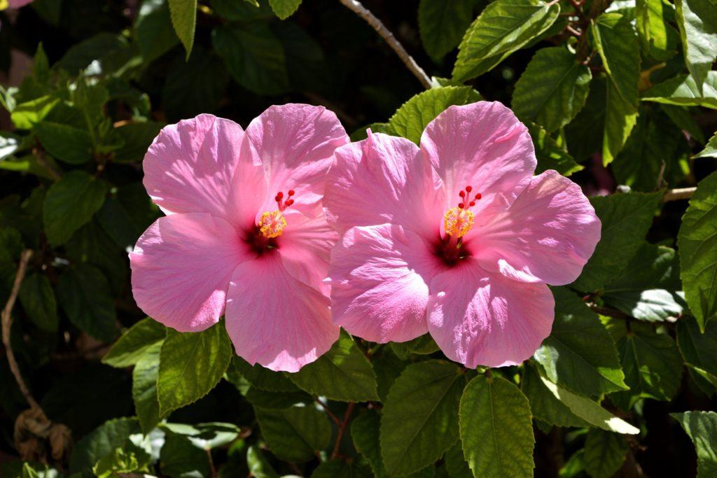 Fleurs d'hibiscus aussi belles que bonnes | ma-tisane.fr
