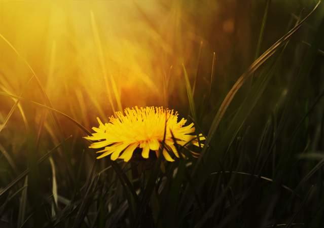fleur de pissenlit pour infusion | ma-tisane.fr